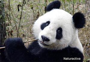 OSO PANDA (1)