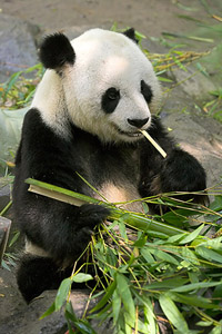 OSO PANDA (2)