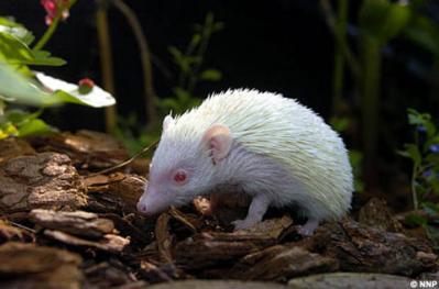 Erizo Albino Africano Naturactiva